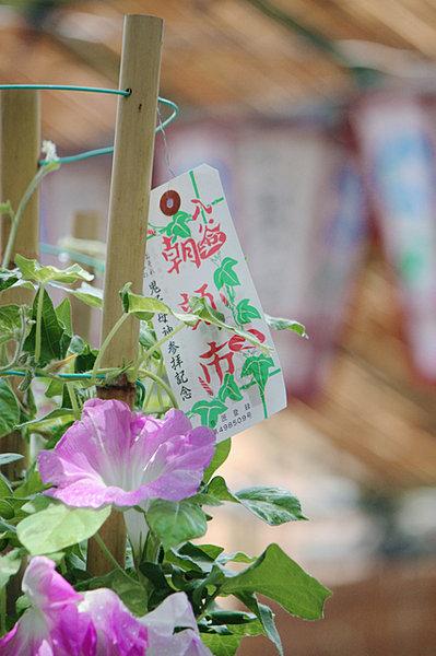 「小暑」朝顔の季節