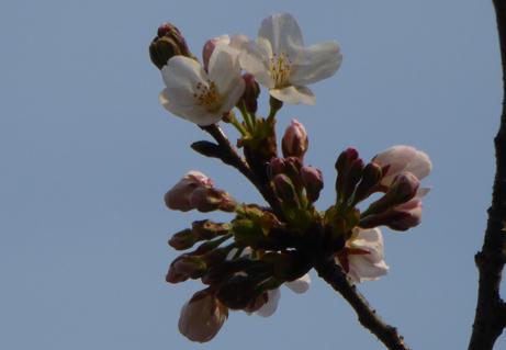 ソメイヨシノが開花しました!! | 最新情報 | 新宿御苑 | 一般財団法人国民公園協会