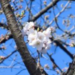 ソメイヨシノが開花しました最新情報 | 新宿御苑 | 一般財団法人国民公園協会